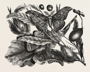 The oak silkworm. engraving 1855